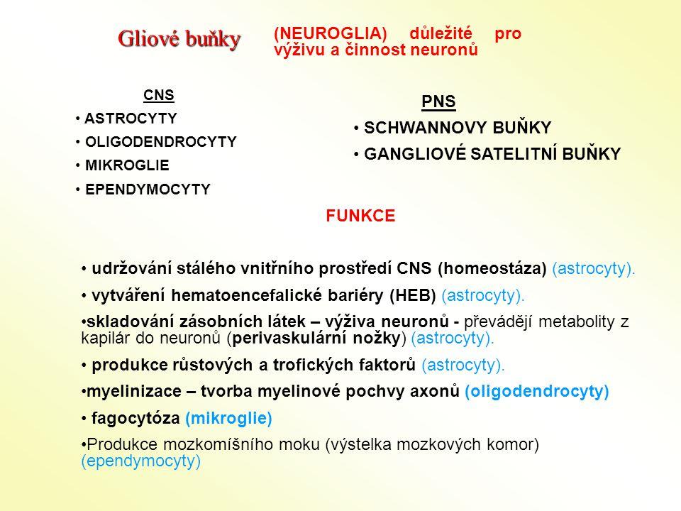 Gliové buňky (NEUROGLIA) důležité pro výživu a činnost neuronů PNS