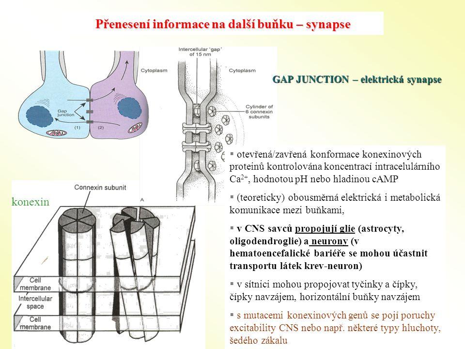 Přenesení informace na další buňku – synapse