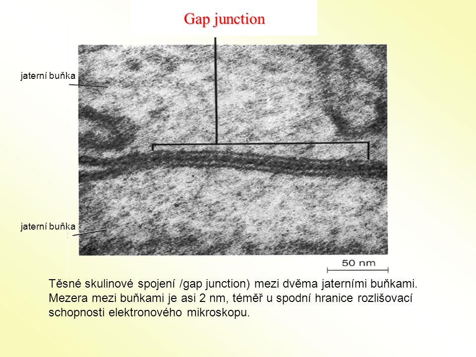 Gap junction jaterní buňka 1. jaterní buňka 2.