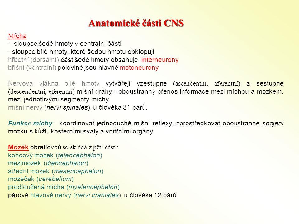 Anatomické části CNS Mícha - sloupce šedé hmoty v centrální části