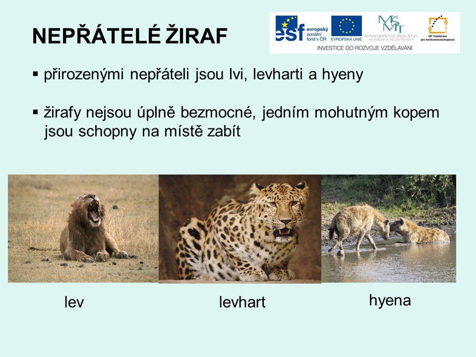 NEPŘÁTELÉ ŽIRAF přirozenými nepřáteli jsou lvi, levharti a hyeny