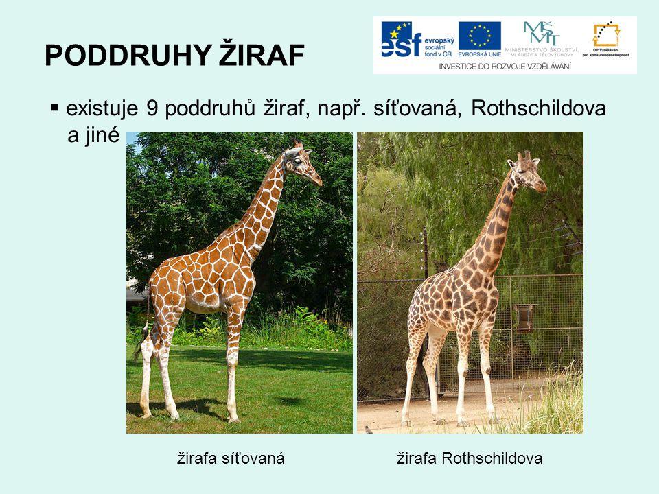 PODDRUHY ŽIRAF existuje 9 poddruhů žiraf, např. síťovaná, Rothschildova. a jiné. žirafa síťovaná.