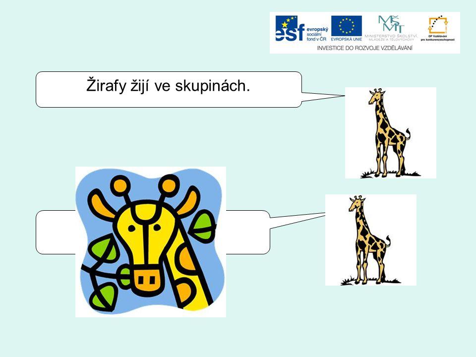 Žirafy žijí ve skupinách.