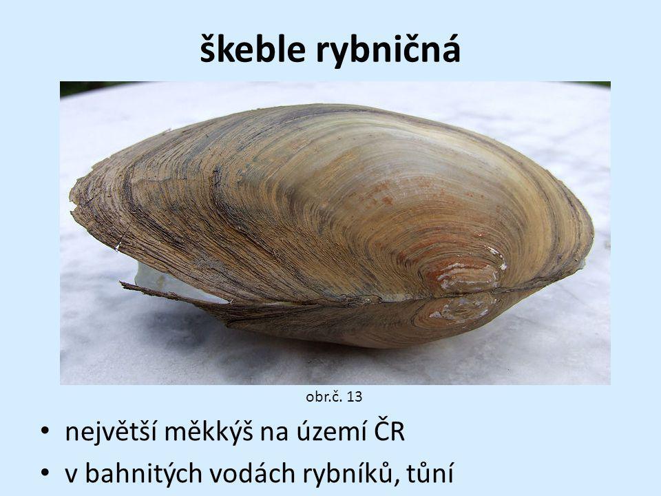 škeble rybničná největší měkkýš na území ČR