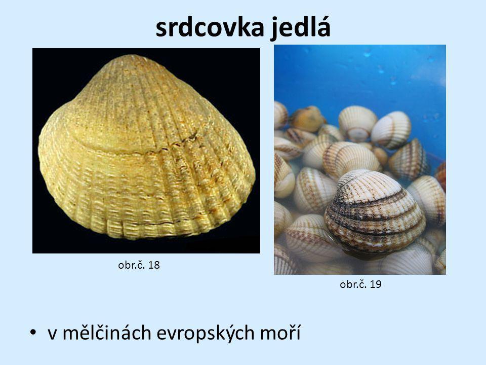 srdcovka jedlá obr.č. 18 obr.č. 19 v mělčinách evropských moří