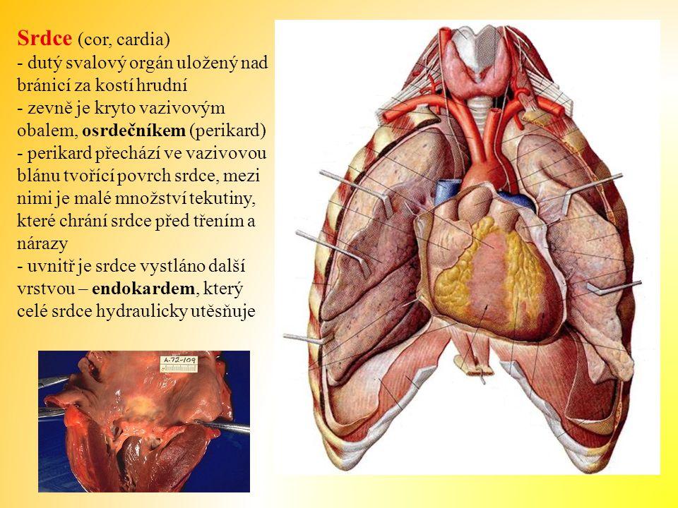 Srdce (cor, cardia) - dutý svalový orgán uložený nad bránicí za kostí hrudní. - zevně je kryto vazivovým obalem, osrdečníkem (perikard)