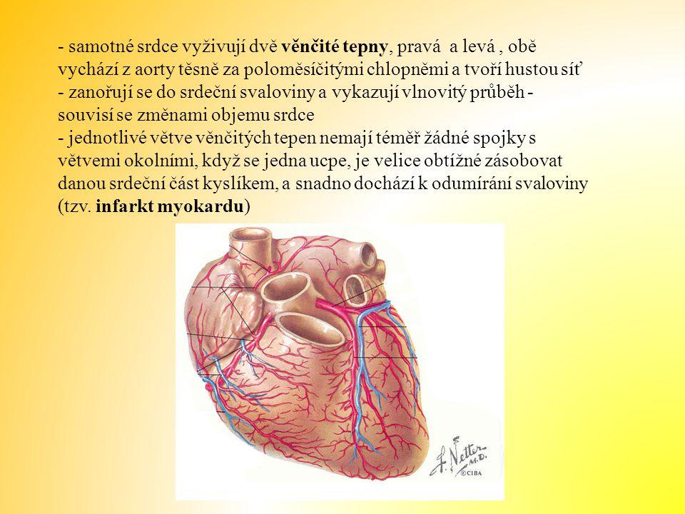 - samotné srdce vyživují dvě věnčité tepny, pravá a levá , obě vychází z aorty těsně za poloměsíčitými chlopněmi a tvoří hustou síť