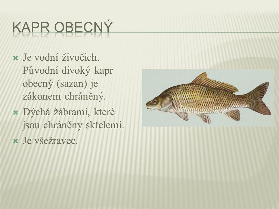 Kapr obecný Je vodní živočich. Původní divoký kapr obecný (sazan) je zákonem chráněný. Dýchá žábrami, které jsou chráněny skřelemi.