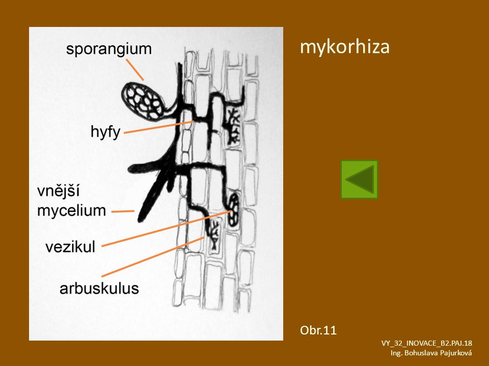 mykorhiza Obr.11 VY_32_INOVACE_B2.PAJ.18 Ing. Bohuslava Pajurková