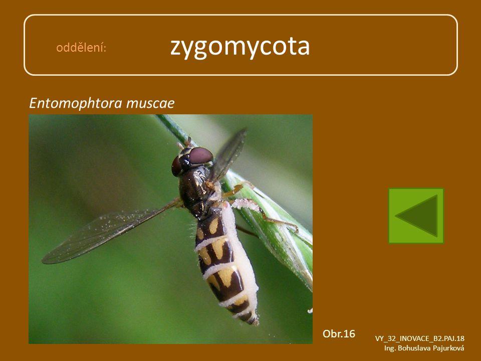 zygomycota Entomophtora muscae oddělení: Obr.16