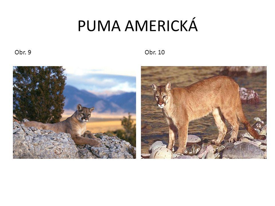 PUMA AMERICKÁ Obr. 9 Obr. 10