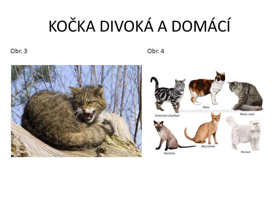 KOČKA DIVOKÁ A DOMÁCÍ Obr.