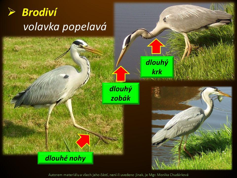 Brodiví volavka popelavá dlouhý krk dlouhý zobák dlouhé nohy