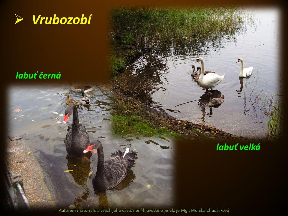 Vrubozobí labuť černá labuť velká