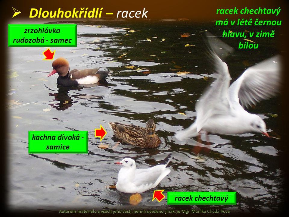 Dlouhokřídlí – racek racek chechtavý má v létě černou hlavu, v zimě bílou. zrzohlávka rudozobá - samec.