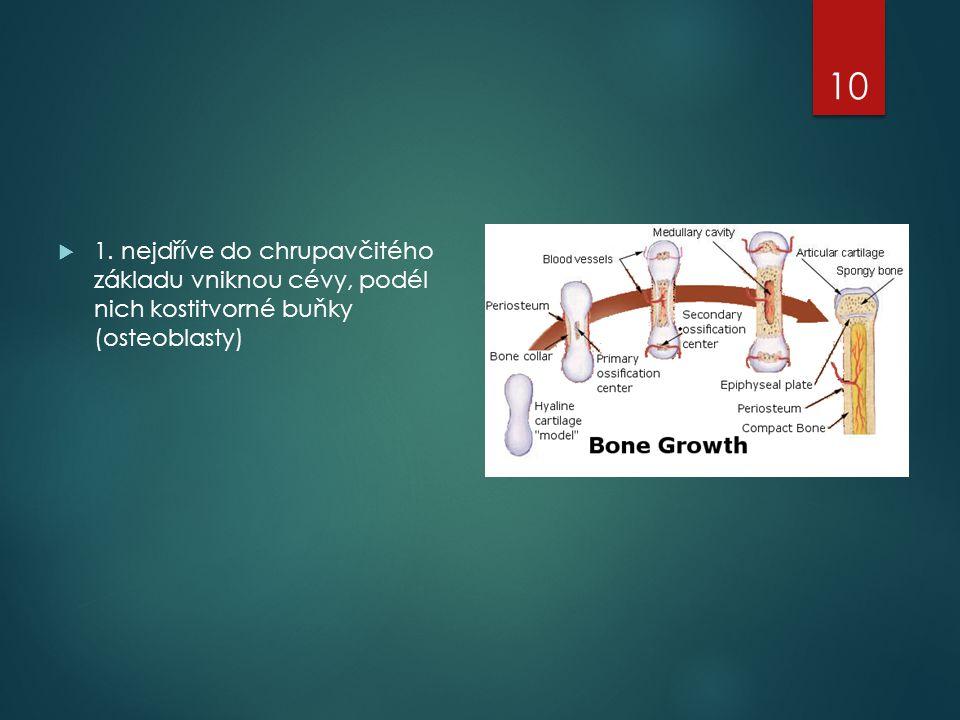 1. nejdříve do chrupavčitého základu vniknou cévy, podél nich kostitvorné buňky (osteoblasty)