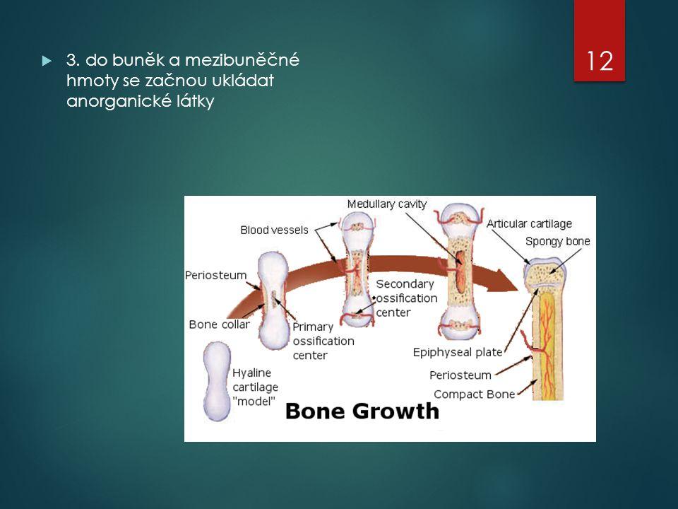3. do buněk a mezibuněčné hmoty se začnou ukládat anorganické látky