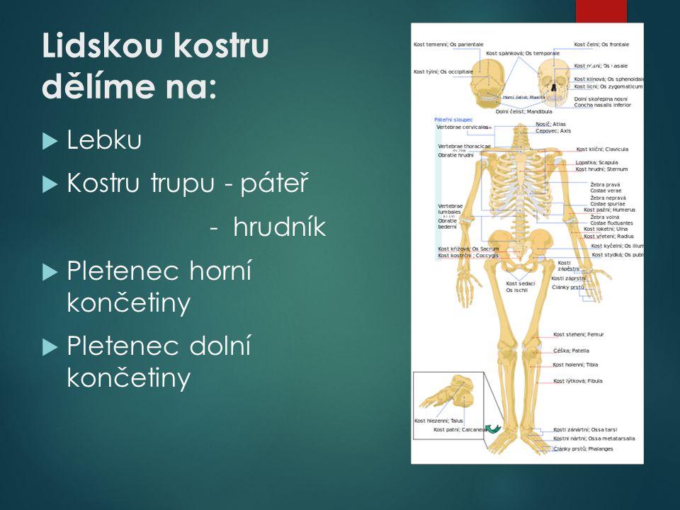 Lidskou kostru dělíme na: