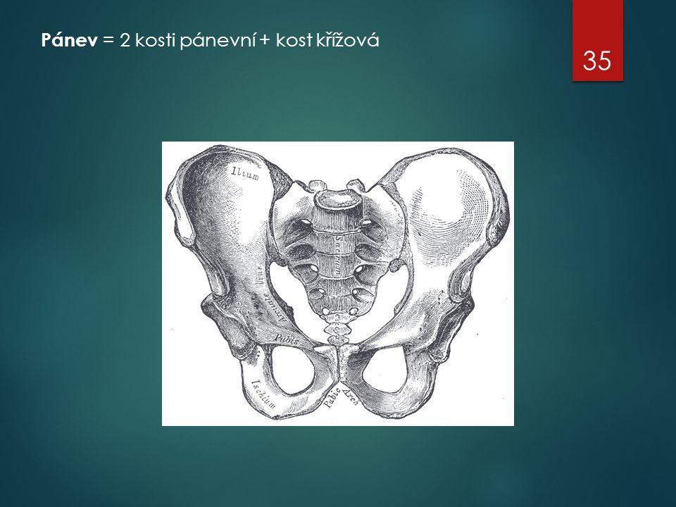 Pánev = 2 kosti pánevní + kost křížová