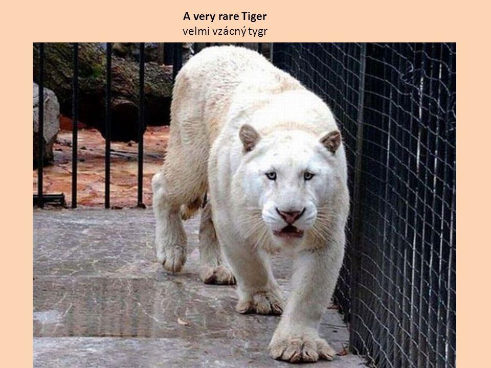 A very rare Tiger velmi vzácný tygr