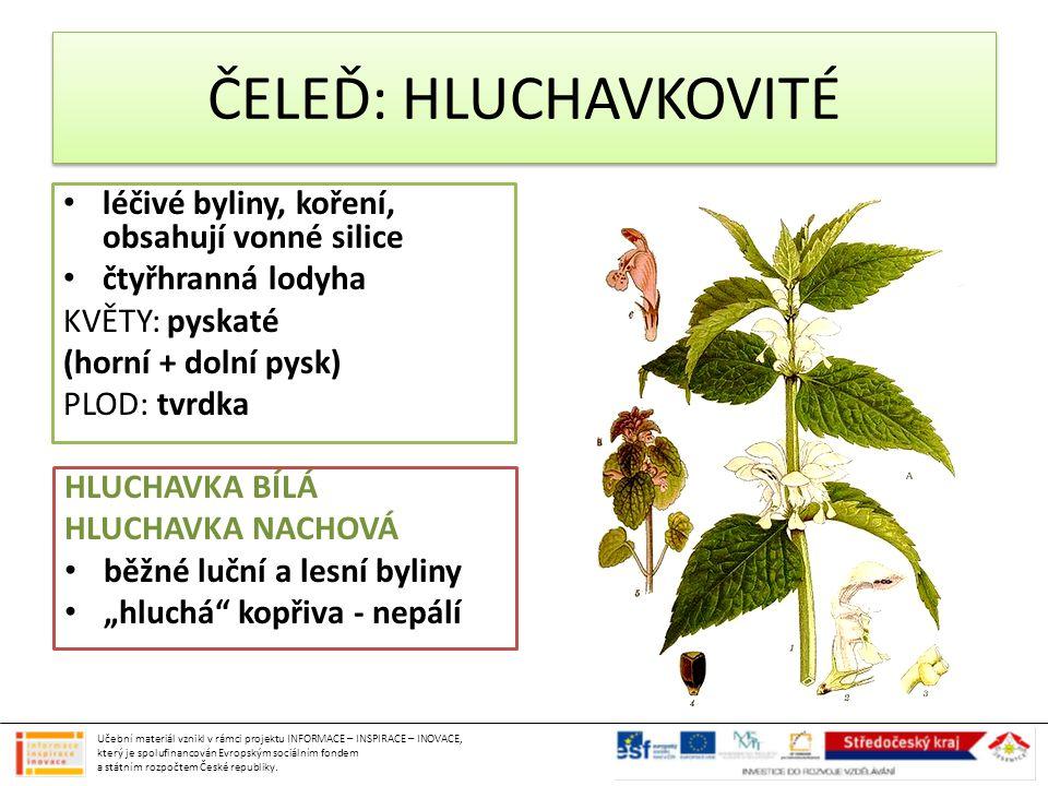 ČELEĎ: HLUCHAVKOVITÉ léčivé byliny, koření, obsahují vonné silice