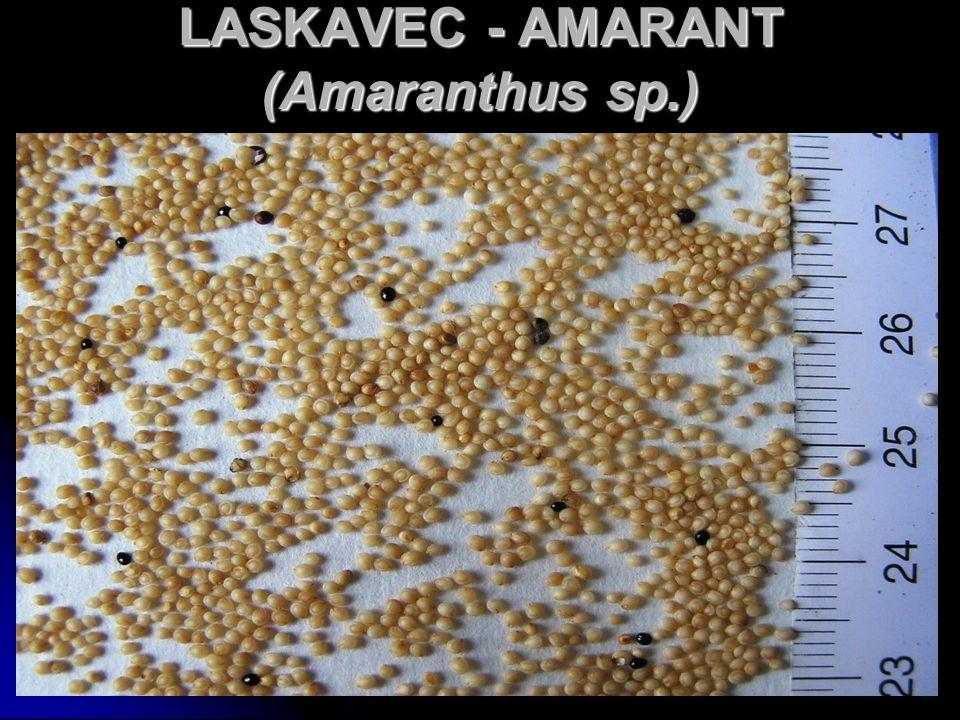 LASKAVEC - AMARANT (Amaranthus sp.)