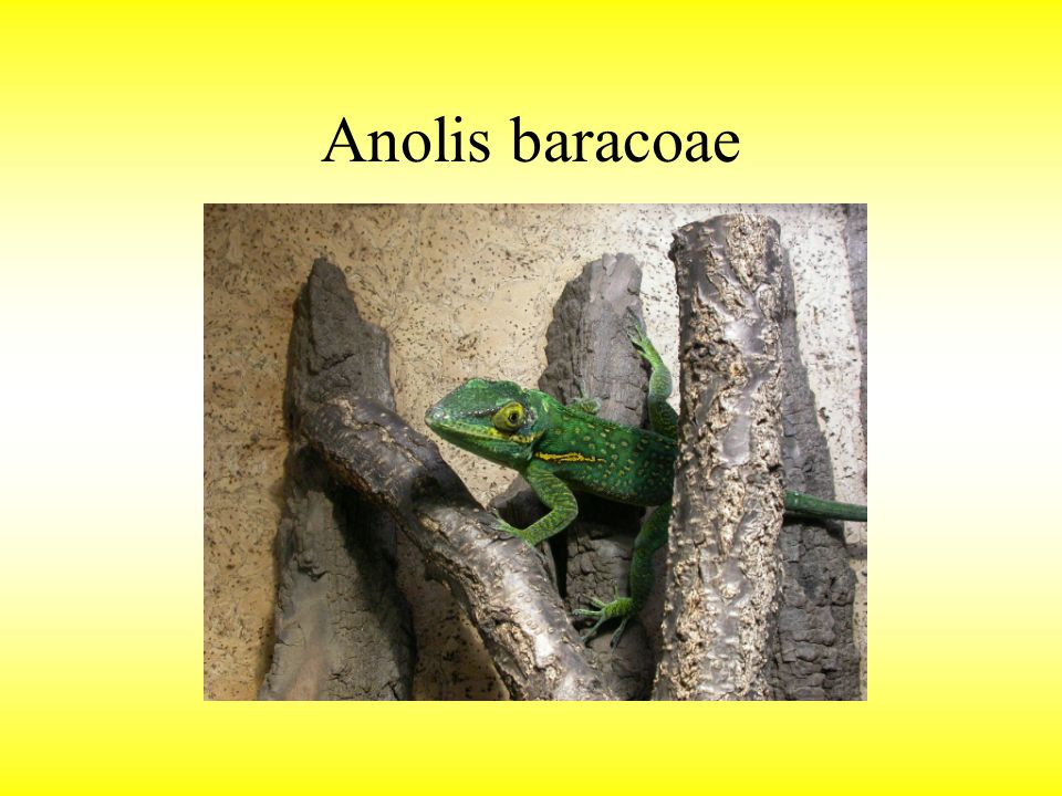 Anolis baracoae