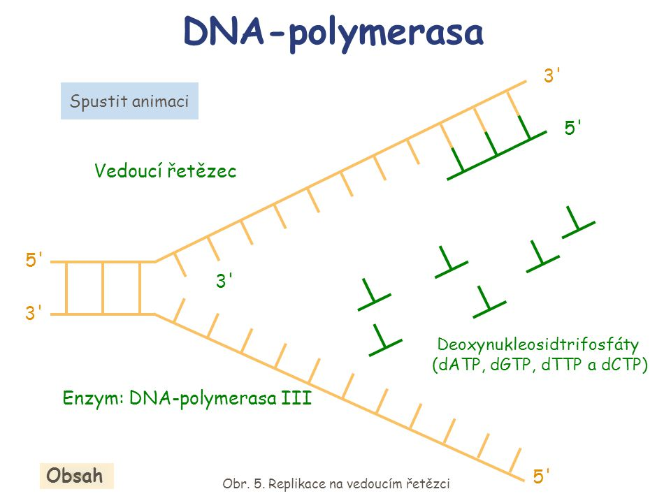 DNA-polymerasa 3 5 Vedoucí řetězec 5 3 3