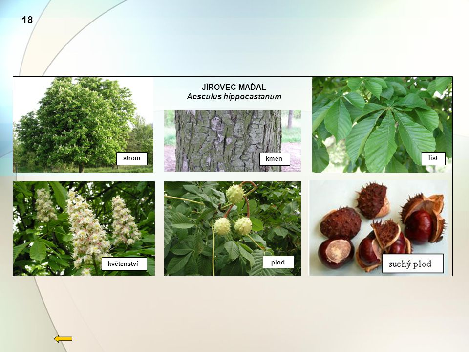 18 JÍROVEC MAĎAL Aesculus hippocastanum strom kmen list květenství