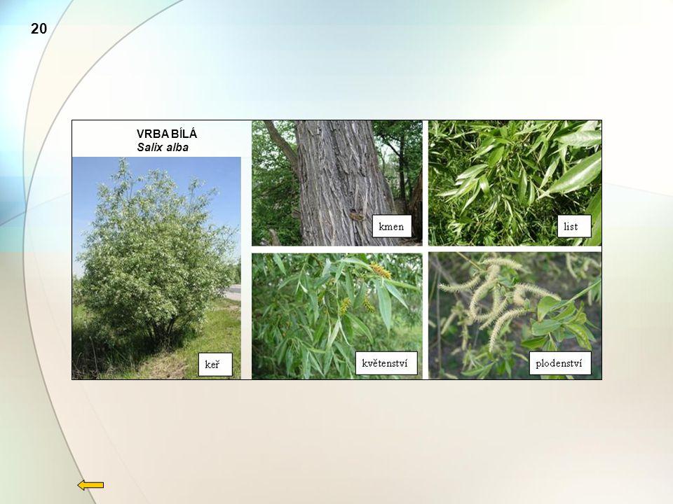 20 VRBA BÍLÁ Salix alba