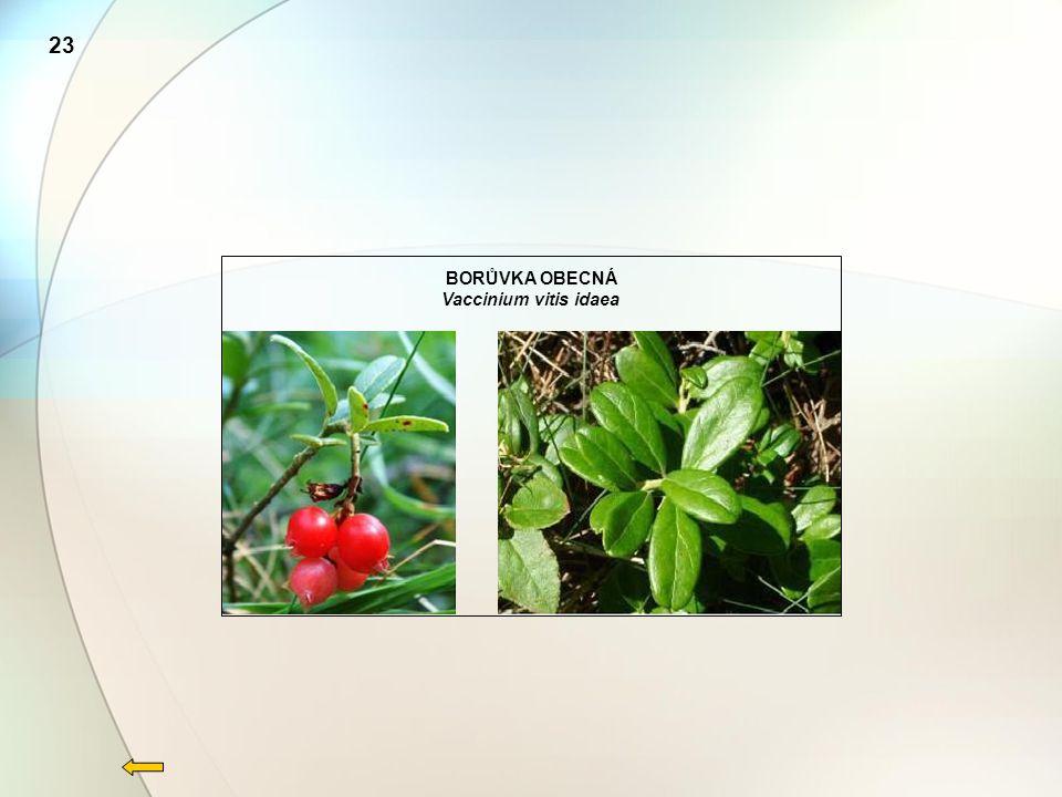 23 BORŮVKA OBECNÁ Vaccinium vitis idaea