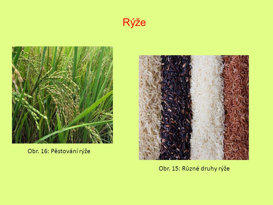 Rýže Obr. 16: Pěstování rýže Obr. 15: Různé druhy rýže