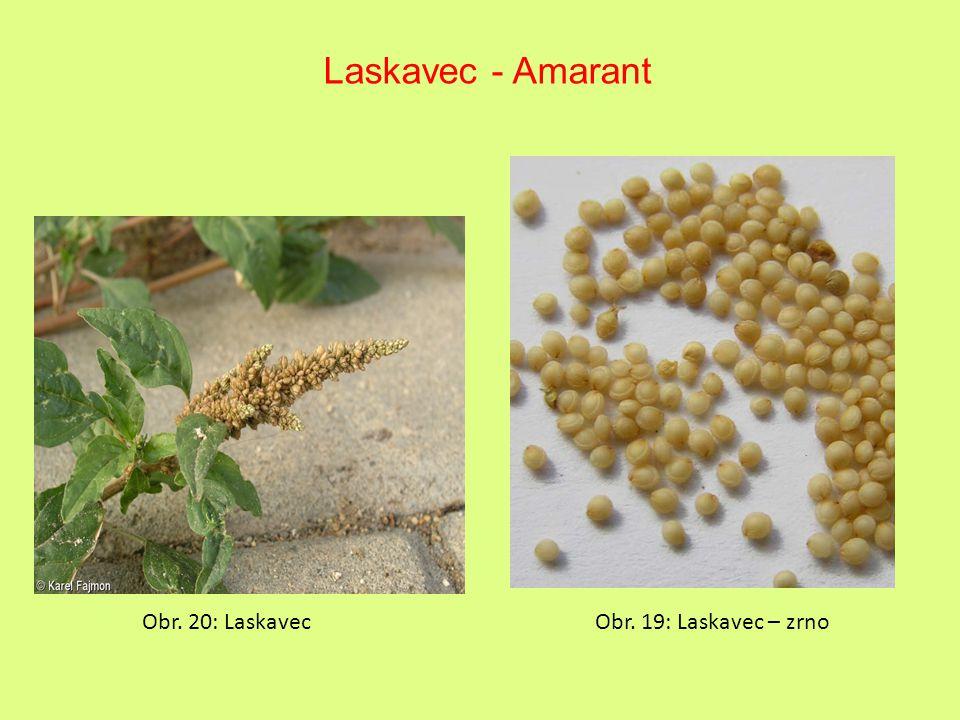 Laskavec - Amarant Obr. 20: Laskavec Obr. 19: Laskavec – zrno