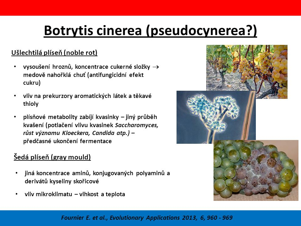 Botrytis cinerea (pseudocynerea )