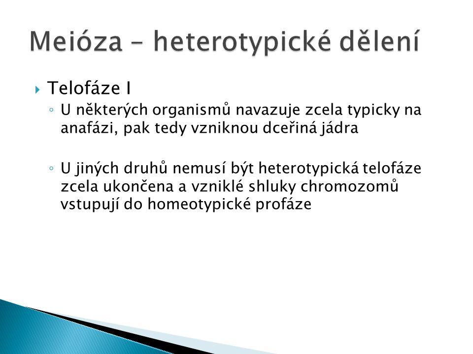 Meióza – heterotypické dělení