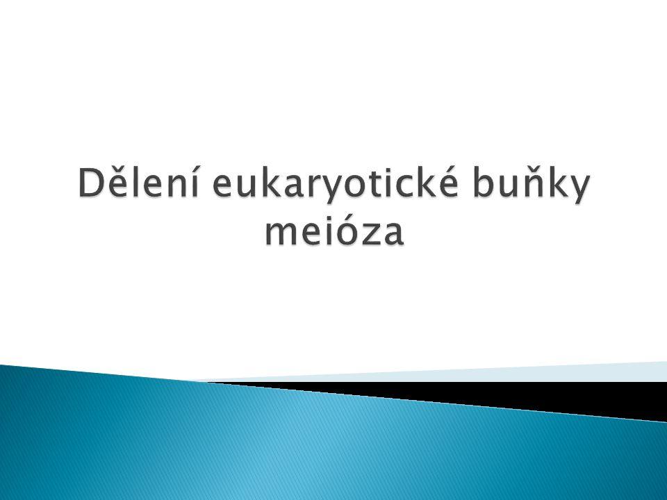 Dělení eukaryotické buňky meióza