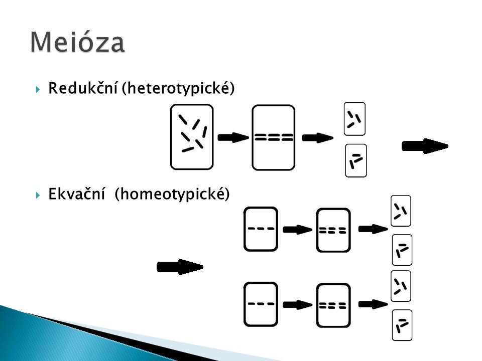 Meióza Redukční (heterotypické) Ekvační (homeotypické)