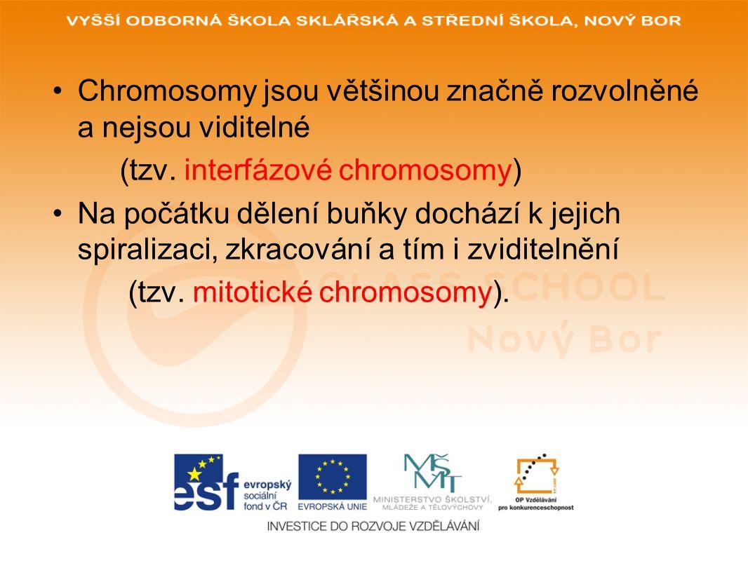 Chromosomy jsou většinou značně rozvolněné a nejsou viditelné