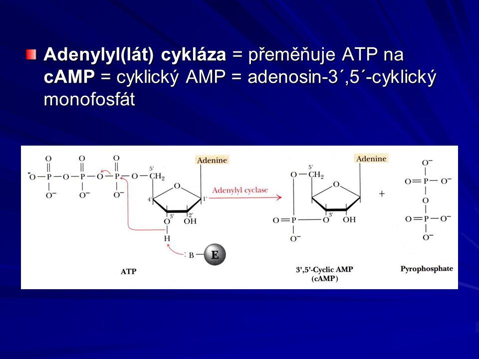 Adenylyl(lát) cykláza = přeměňuje ATP na cAMP = cyklický AMP = adenosin-3´,5´-cyklický monofosfát