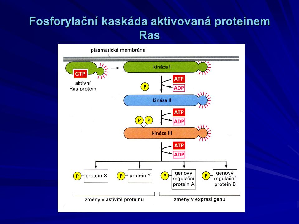 Fosforylační kaskáda aktivovaná proteinem Ras