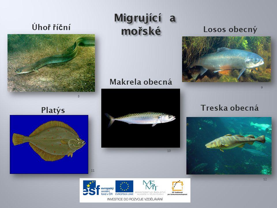 Migrující a mořské Úhoř říční Losos obecný Makrela obecná