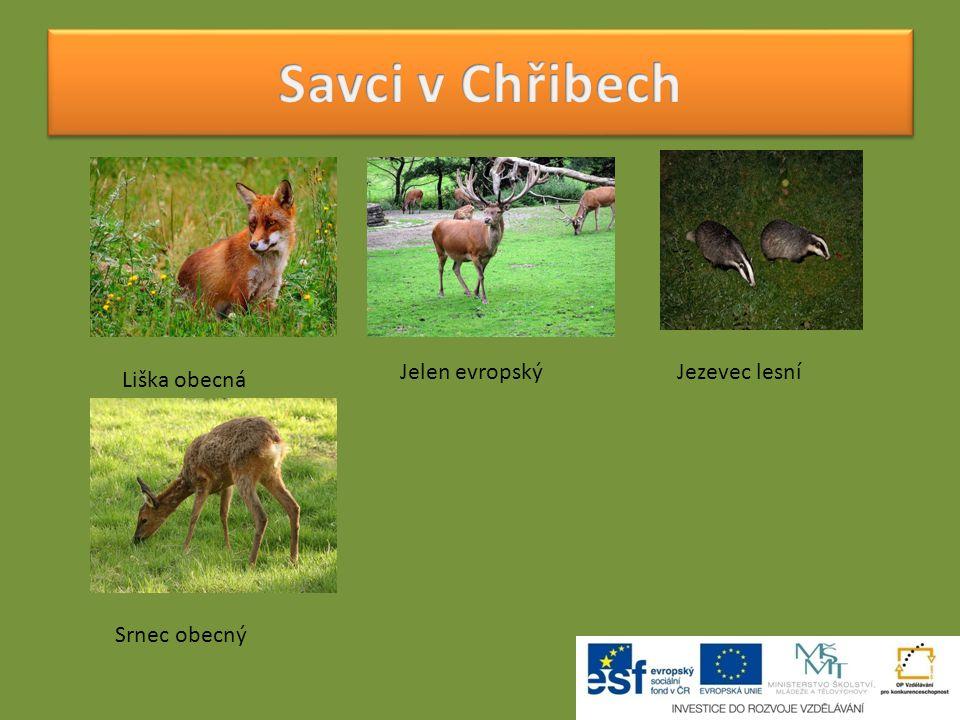 Savci v Chřibech Jezevec lesní Jelen evropský Liška obecná