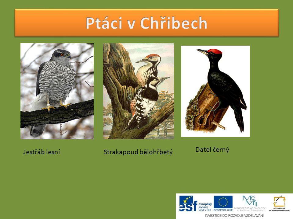 Ptáci v Chřibech Jestřáb lesní Strakapoud bělohřbetý Datel černý