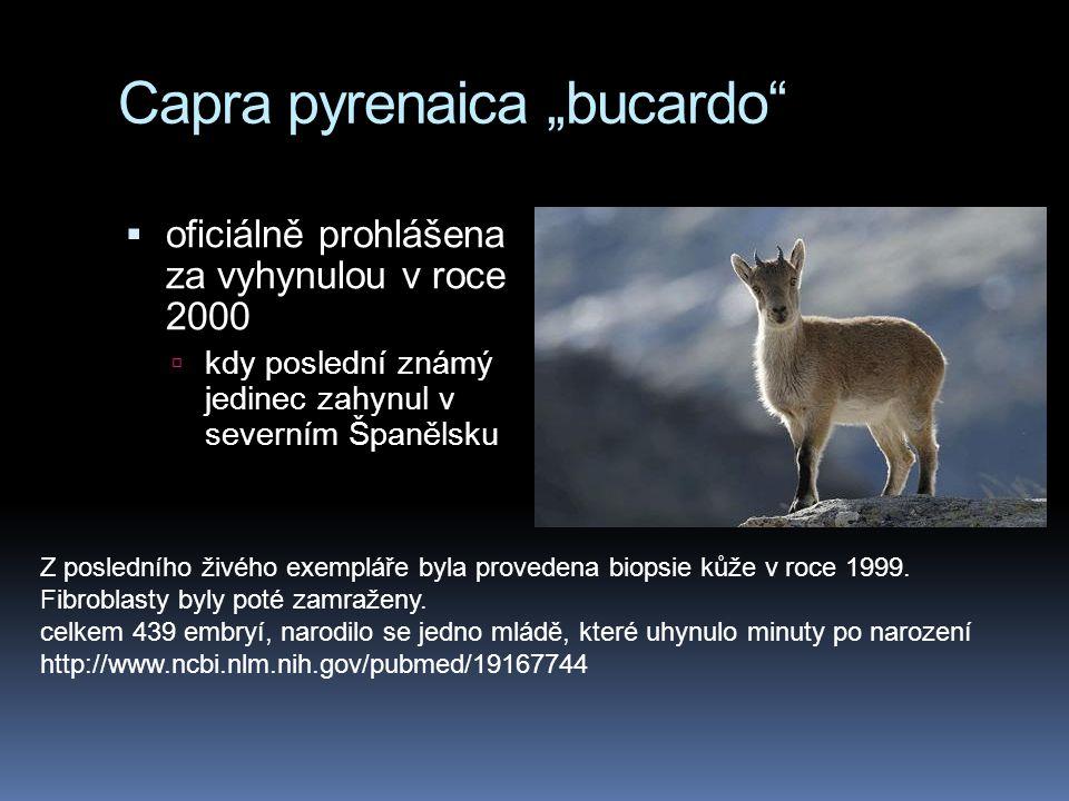 """Capra pyrenaica """"bucardo"""