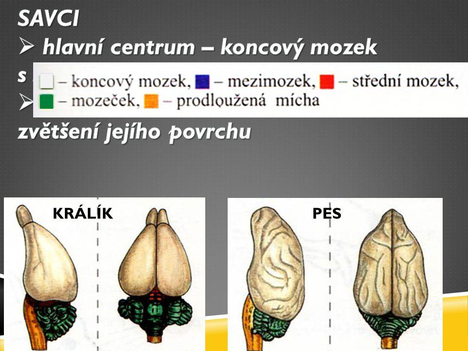 hlavní centrum – koncový mozek s šedou kůrou mozkovou