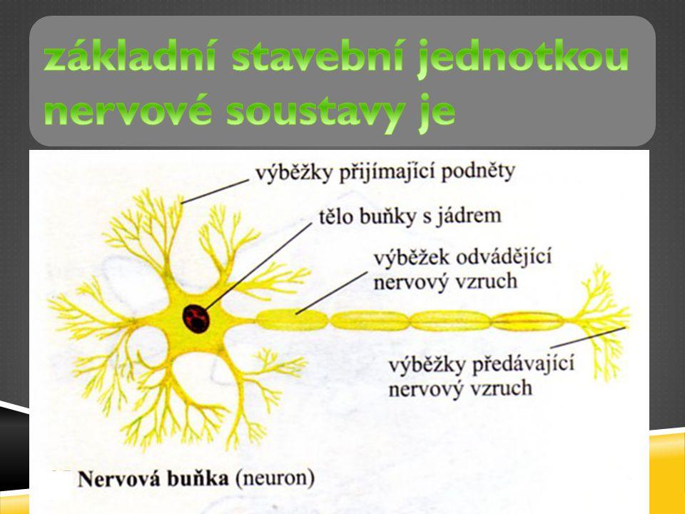 základní stavební jednotkou nervové soustavy je neuron