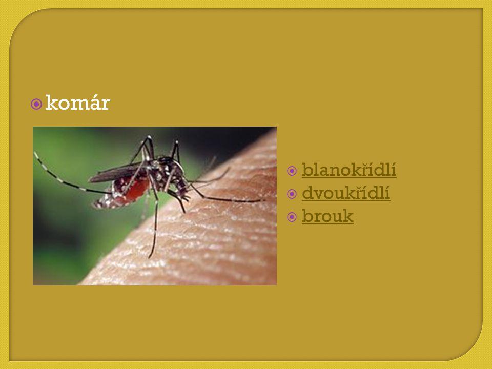 komár blanokřídlí dvoukřídlí brouk