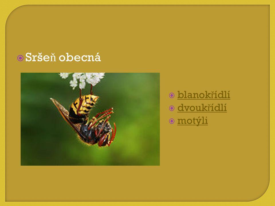 Sršeň obecná blanokřídlí dvoukřídlí motýli