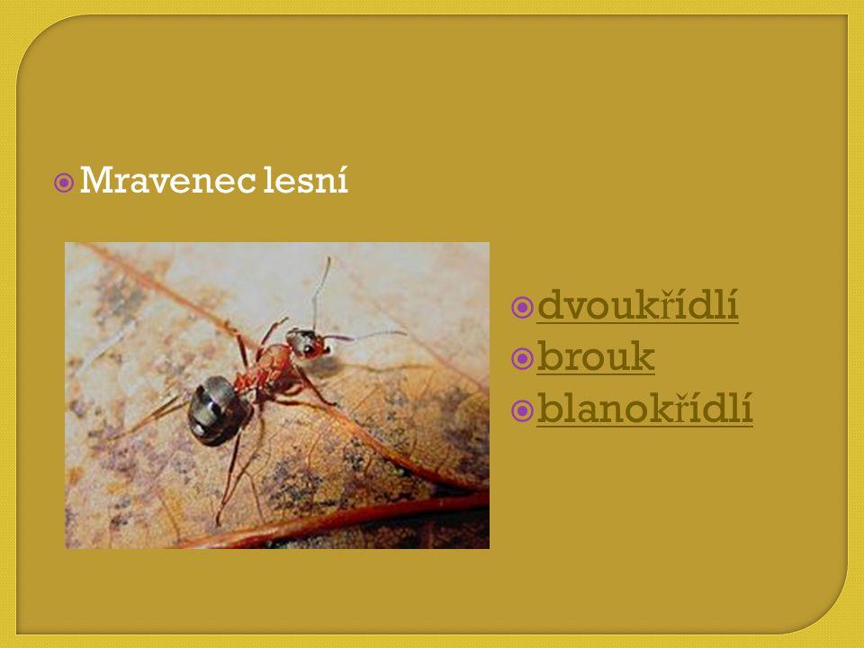 Mravenec lesní dvoukřídlí brouk blanokřídlí