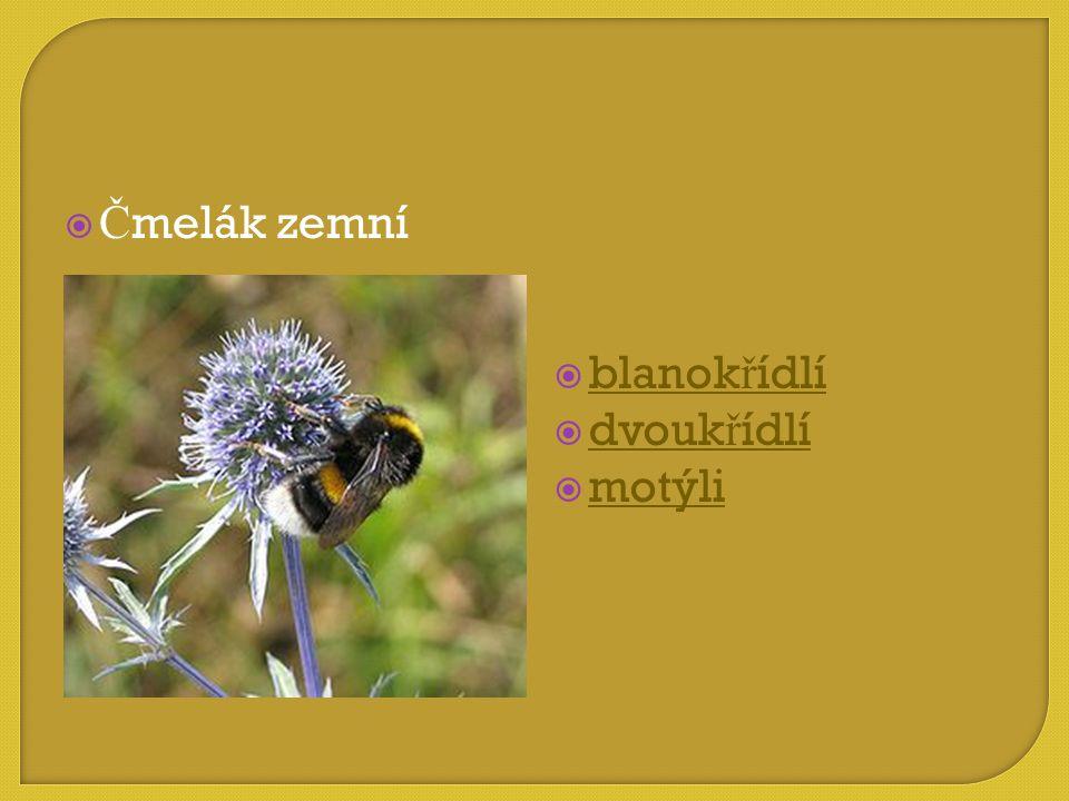 Čmelák zemní blanokřídlí dvoukřídlí motýli